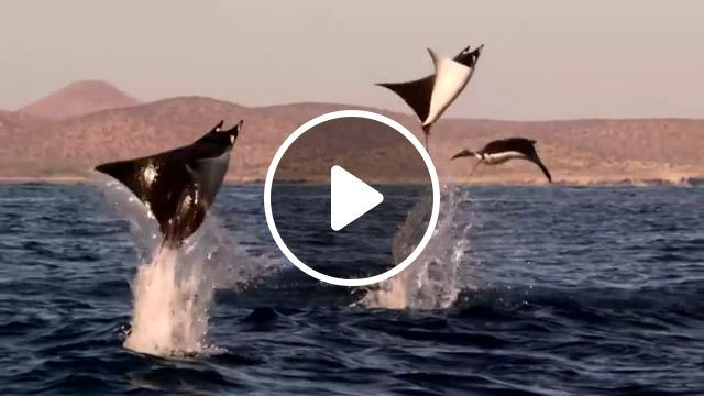 Incredible Flying Rays!, funny animal videos, wild animal, sea, beautiful nature