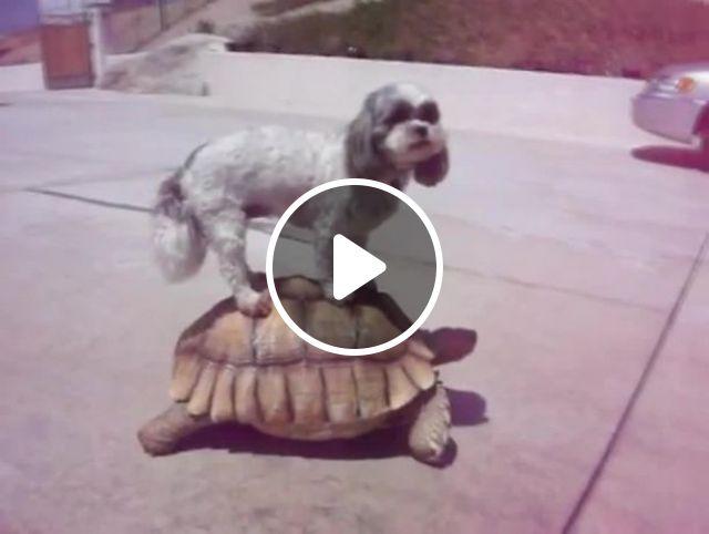 Express Taxi, dog, pet, animal, turtle, taxi