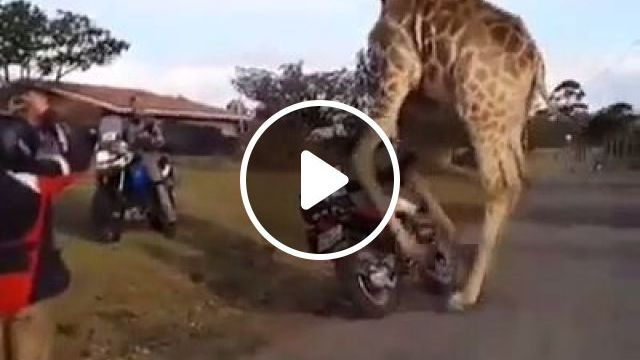 OMG, This game is real - Funny Videos - funvizeo.com - game, giraffe, animal, humor, motorcycles