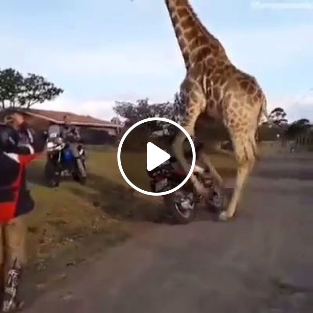 OMG, This game is real, game, giraffe, animal, funny, motorcycles