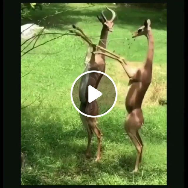 Cute Antelopes - Video & GIFs   wild animals, funny, antelopes