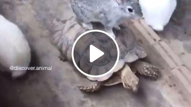 Bunny riding a turtle, cute bunny, cute turtle, funny animal