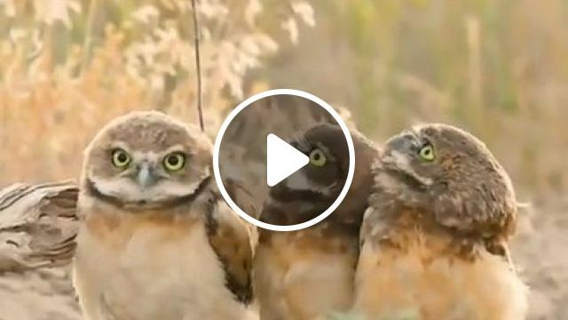 Funny Owls And Cute Owls - Video & GIFs | owl, cute owl, funny animals, wild animal