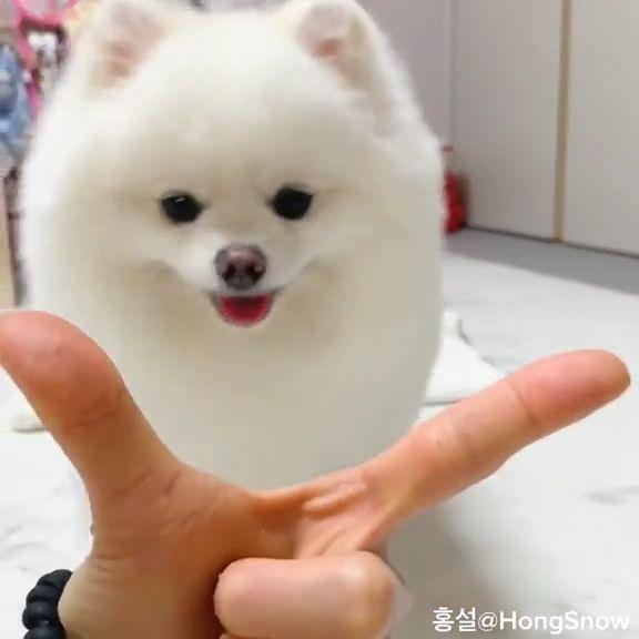 Cute White Pomeranian Puppy