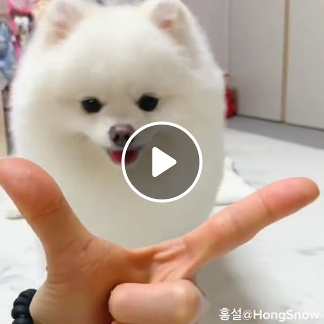 Cute White Pomeranian Puppy, cute puppy, cute pet, cute dog, pomeranian dog breed