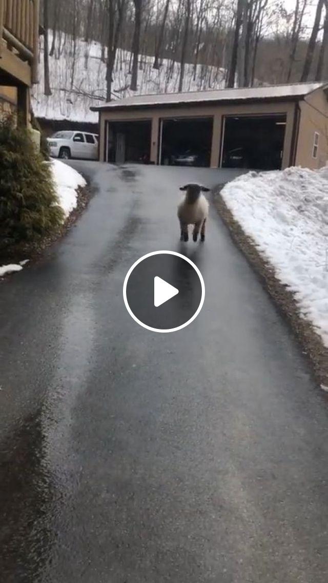 Jumping Happy Lamb - Video & GIFs | cute animal, cute lamb, happy
