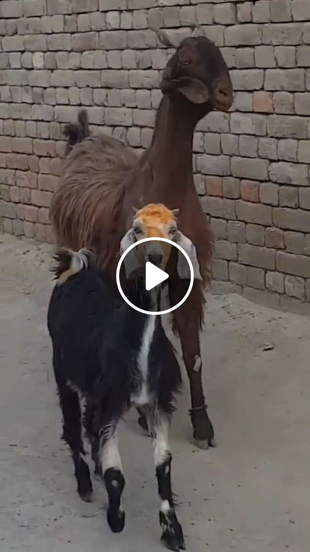 Goats Dancing To Stayin' Alive By Bee Gees - Video & GIFs | goat, funny animal videos, dance