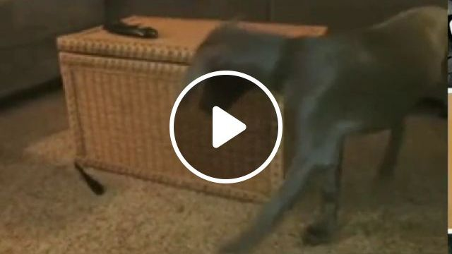 He trying to catch the leash, funny dog, game, funny pet