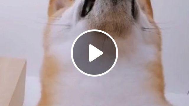 Cute Shiba Inu - Video & GIFs   shiba inu dog breed, cute dog, pet, funny dog
