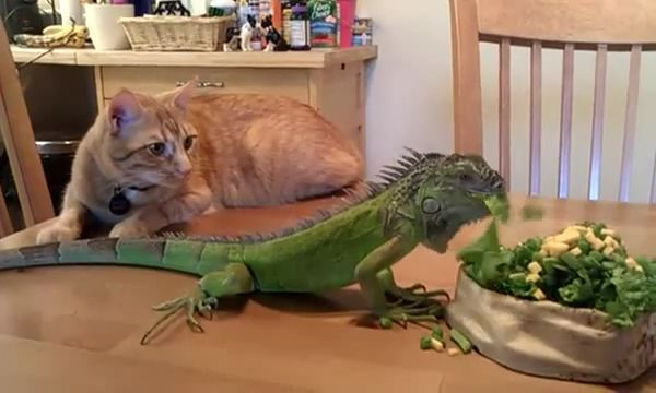 Best Food For Iguanas - Funny Videos - funvizeo.com - kitchen, wood table, cute cat, iguanas, cute animal, cute pet, green vegetables, green iguanas