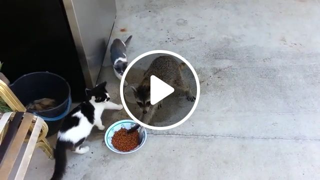 Thank you..., cat, raccoon, eat, animal