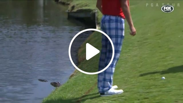 It's hard to play golf while standing near a crocodile, golf, funny, wild animal, crocodile, funny videos