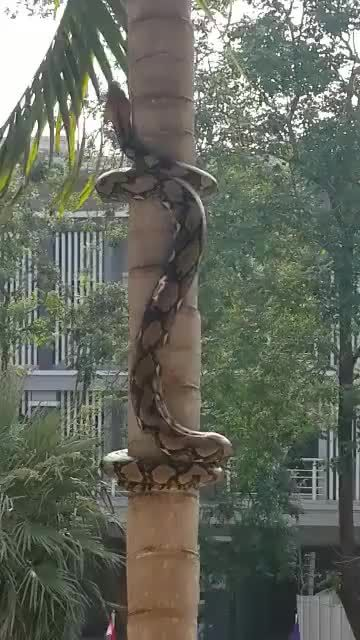 OMG, how did you see the python climbing trees?