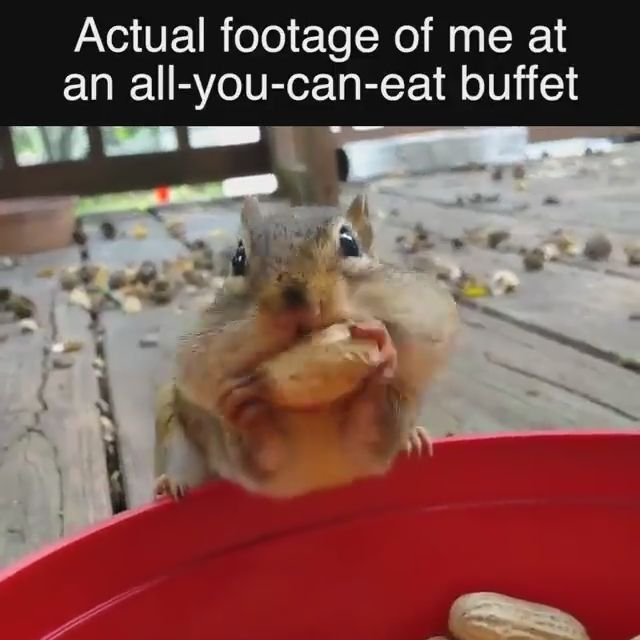 Actual footage of me at an all-you-can-eat buffet - Funny Videos - funvizeo.com - squirrel, peanut, eat, animal
