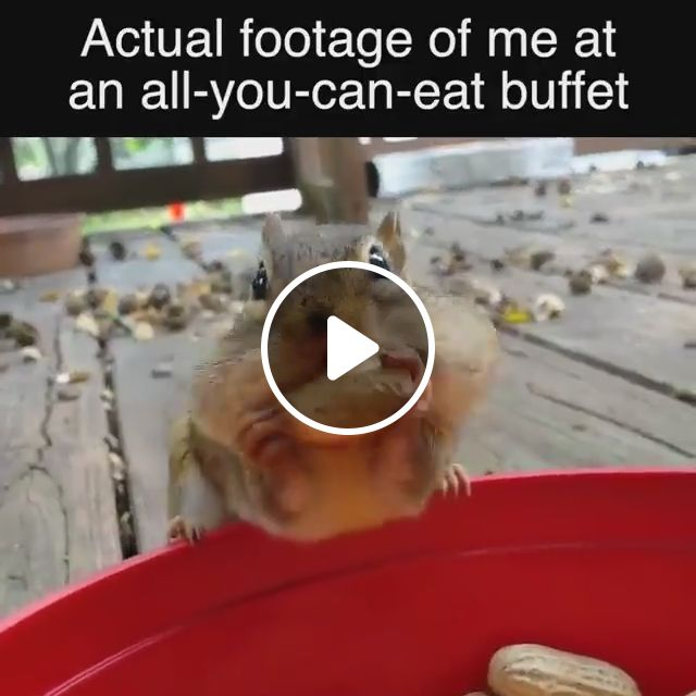 Actual footage of me at an all-you-can-eat buffet, squirrel, peanut, eat, animal