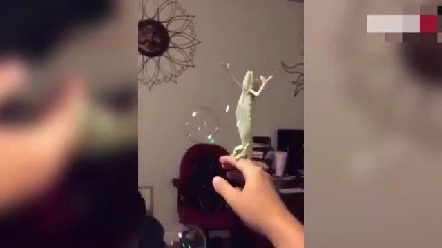 Chameleon likes bubbles
