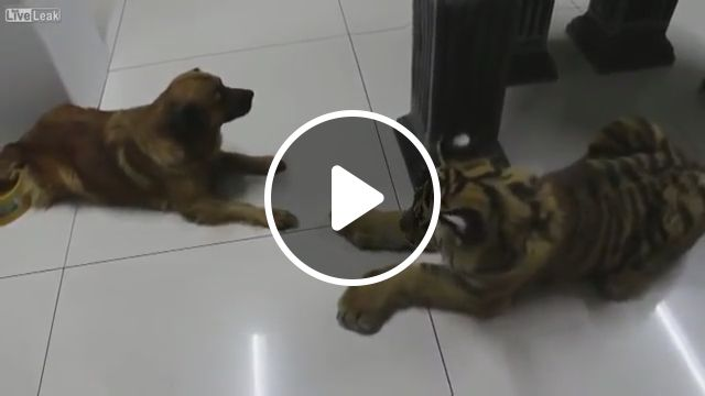 Wat? Is this a tiger?, funny dog, tiger, funny pet, funny animal, dog food, dog bowls