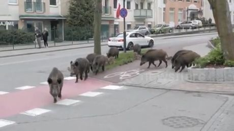 The family of wild pigs walking around the street
