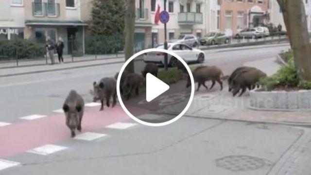 The family of wild pigs walking around the street, wild pigs, wild animal, car, pig